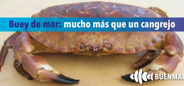 Buey de mar: mucho más que un cangrejo